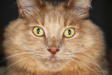Very close up of a honey cat with a very smooth light