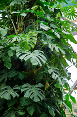 Monstera, philodendron growing in a greenhouse