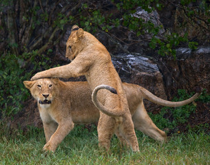 Lions playing with each other. Savannah. National Park. Kenya. Tanzania. Maasai Mara. Serengeti. An excellent illustration.
