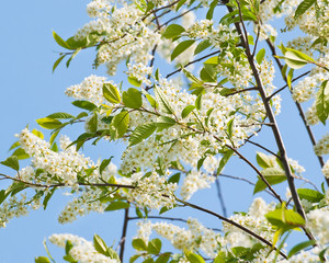 Branch of a blossoming bird cherry (Prunus padus) on the sky background