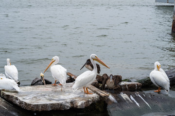 Group of great white pelicans on the rocks.