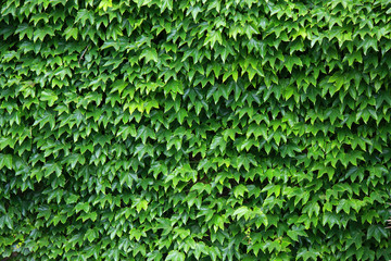 Ivy leaves background Wall mural