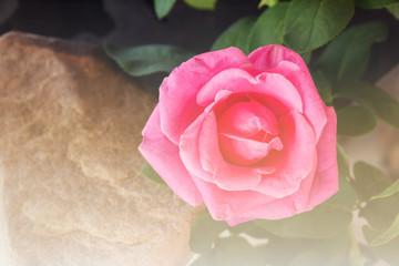 Fototapeta Pink rose in soft vintage mood obraz