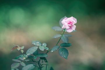 Fototapeta Pink rose closeup obraz