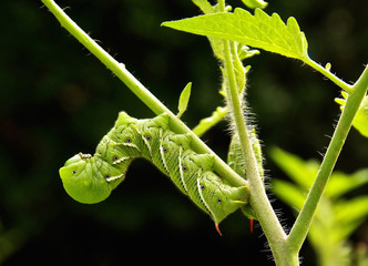 Two Tomato /Tobacco Hornworms Cling to a tomato plant...devouring leaves while they hang upside down on the stems.