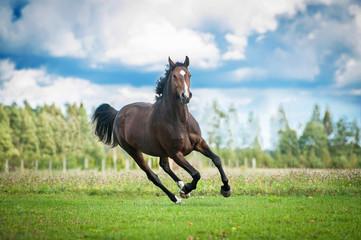 Beautiful warmblood horse running on the field in summer
