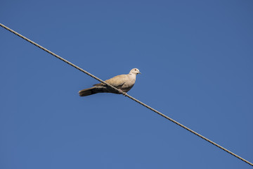 Eurasian collared dove perched on a power line