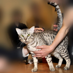 Egyptian Mau breed cat with green eyes