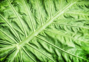 Colocasia esculenta, tropical plant