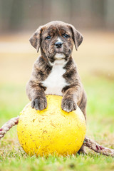 Wall Mural - American staffordshire terrier puppy with a ball
