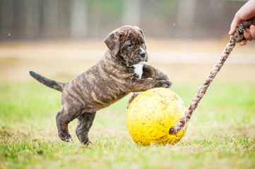 Fototapete - American staffordshire terrier puppy playing with a ball