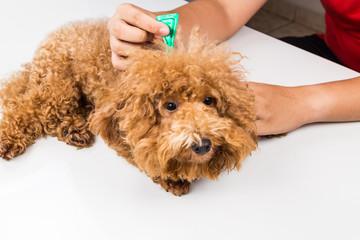 Vet applying ticks, lice and mites control medicine on dog