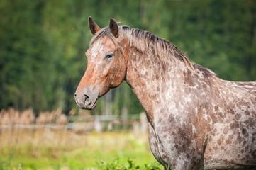 Fototapete - Portrait of beautiful appaloosa horse in summer
