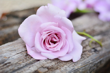 beautiful big pink rose