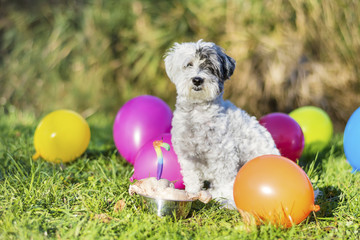 white small poodle dog celebrating his birthday party in the park with balloons