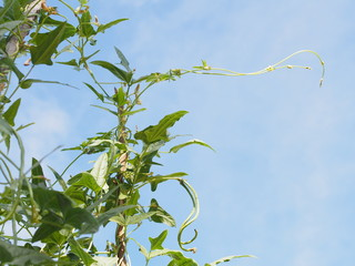 Lentil plant creep on a stick with blue sky