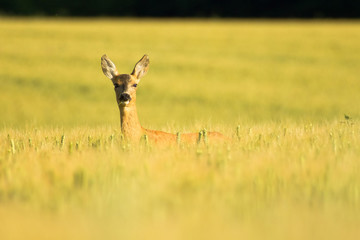 Roe in field
