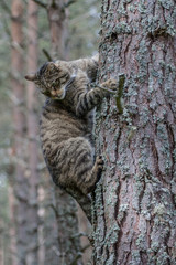 Scottish Wildcat clinging to tree trunk