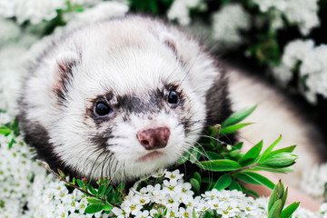Ferret in the Flowers