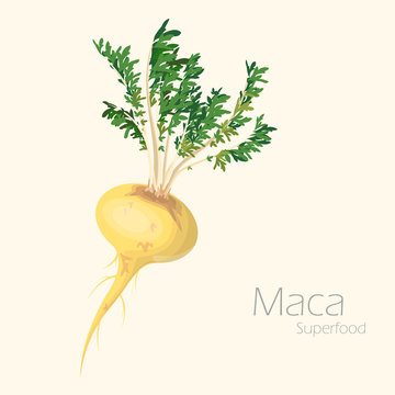 Vector illustration of maca for your design.