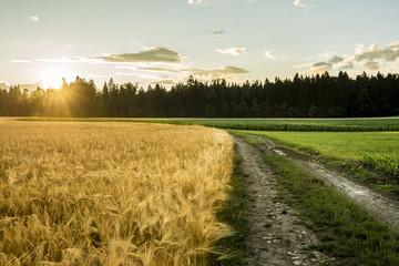 Beautiful landscape image of golden wheat filed and green ripeni