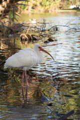 White ibis with ruffled feathers, standing in shade at tropical Louisiana water park