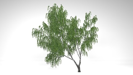 Birch Tree with green leaves isolated on white background