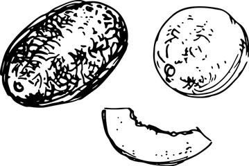 Melon. Vector illustration