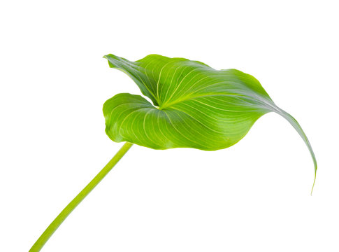 leaf of Calla Lily flower is isolated on white background, close