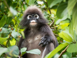An adult dusky leaf monkey / spectactled leaf monkey / langur is sitting among leaves in a tree in the wild. Location: Langkawi, Malaysia.