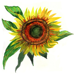 sunflower, watercolor