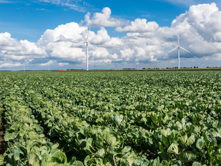 Aluminium Prints Nature Field of brussels sprouts plants and wind turbines in Flevoland polder, Netherlands