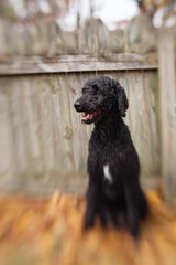 Blue Standard Poodle against rustic wooden fence; vertical, blurry image