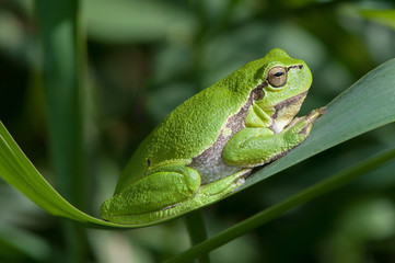 Tree frog on a reed leaf