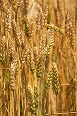 cereals  rye ears