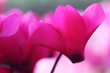 colorful cyclamen flower,shallow DOF