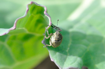 Bio-agresseur : le charançon de la tige du colza