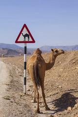 Camel crossing road sign in Oman road