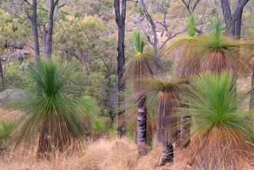 Australian Bush with Grass Trees (Black Boys), Australia