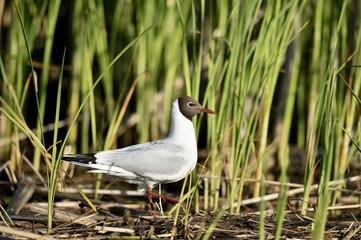 The black-headed gull ( larus ridibundus )