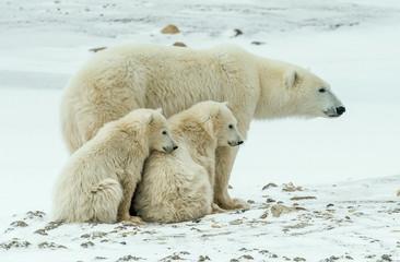 IJsbeer met welpen. Een ijsbeer met twee kleine berenwelpen in de sneeuw.