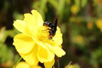 hornet on fresh yellow flower in garden