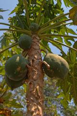 Papaya tree ( Carica papaya )