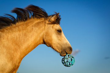 welsh pony with toy