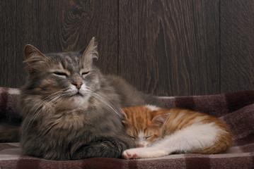 Взрослый большой кот охраняет сон маленького котенка. Малыш котенок крепко спит в сером мехе большого кота. Благородные кошки. Темные тона. Клетчатый плед. Мать и ребенок, семья домашних кошек
