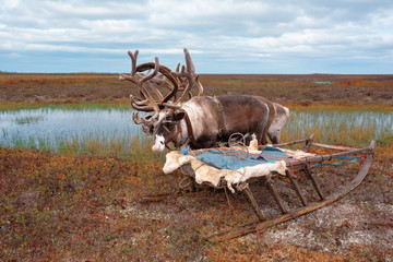 Deer in the harness at the camp Nenets