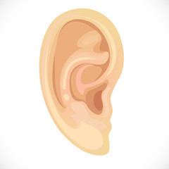 realistic human ear