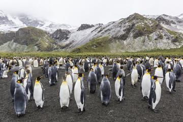 King penguins (Aptenodytes patagonicus), breeding colony at Gold Harbour, South Georgia, Polar Regions