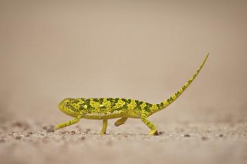 Flap-necked chameleon (flap neck chameleon) (Chamaeleo dilepis), Kruger National Park, South Africa, Africa