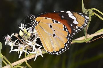 Danaus chrysippus, the plain tiger or African monarch